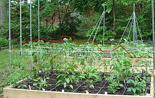 June 1 tomatoes
